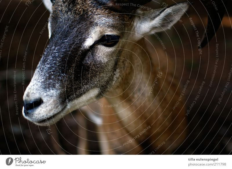 petting zoo Animal Wild animal Animal face Zoo 1 Observe Natural Brown Attentive Nature Buck Calm Colour photo Animal portrait Deserted He-goat Billy goat Pelt