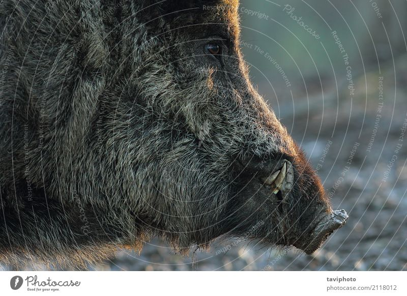 closeup of wild boar head Beautiful Face Playing Hunting Man Adults Teeth Animal Fur coat Old Dark Large Wild Brown Black Fear Dangerous Colour Boar Mammal Pigs