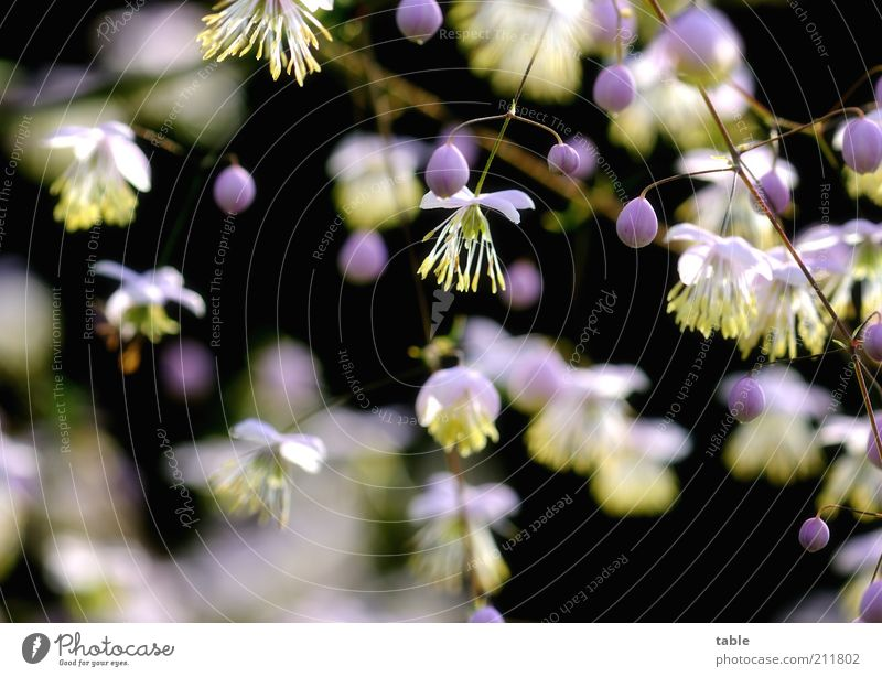 contrasts Plant Bushes Blossom Seed Blossoming Hang Growth Dark Beautiful Small Natural Round Yellow Violet Pink Black White Pollen Twigs and branches Clematis