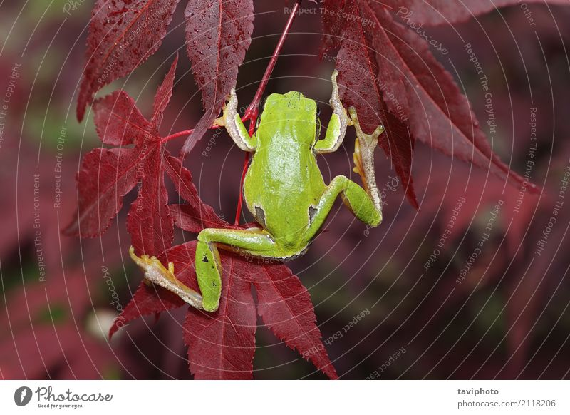 green tree frog climbing on leaves Nature Beautiful Green Tree Leaf Animal Forest Environment Natural Small Jump Wild Bushes Europe Cute Climbing