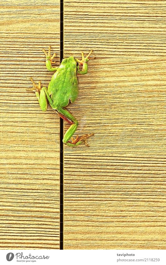 tree frog climbing on furniture Nature Colour Beautiful Green Tree Animal Forest Environment Natural Wood Small Wild Cute Living thing Climbing Furniture