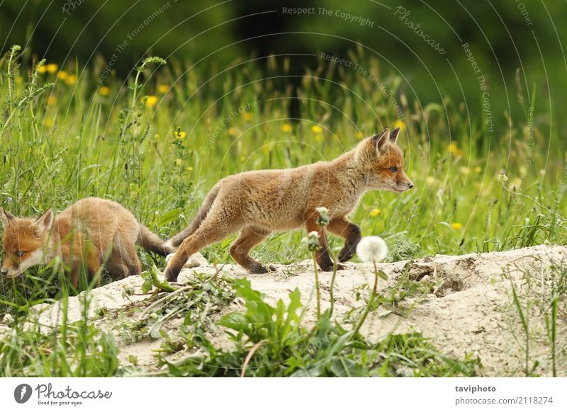 wild red fox puppy Nature Dog Youth (Young adults) Beautiful Green Landscape Red Animal Baby animal Natural Grass Small Playing Wild Action