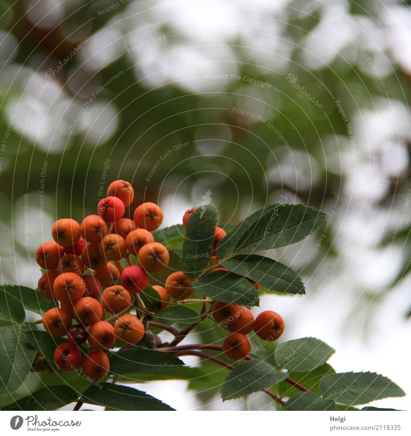 bird food Environment Nature Plant Summer Tree Leaf Wild plant Rowan tree Berries Forest Growth Small Natural Round Gray Green Orange White Rawanberry