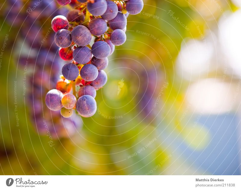 grapes Food Fruit Organic produce Vegetarian diet Environment Nature Summer Weather Beautiful weather Agricultural crop Esthetic Authentic Fragrance Simple