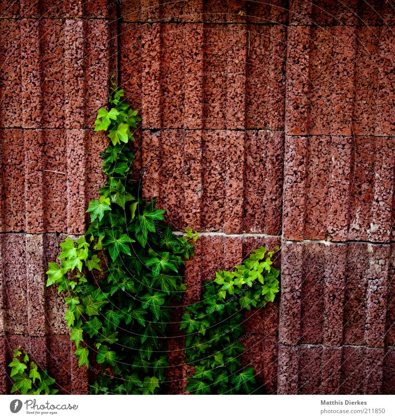 Nature Old Plant Summer Wall (building) Environment Growth Bushes Natural Upward Hang Tendril Ivy Single-minded Creeper Urbanization