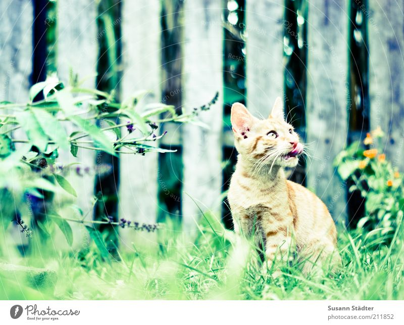 Beautiful Red Animal Garden Cat Observe Listening Discover Hunting Appetite Watchfulness Pet Lick Crouch Attentive Avaricious
