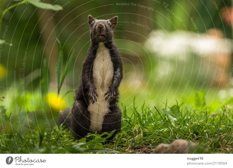 black squirrel Environment Nature Animal Spring Summer Autumn Beautiful weather Grass Garden Park Meadow Forest Wild animal Animal face Pelt Claw Paw Squirrel 1