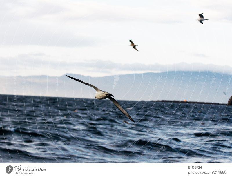 Vestmannaeyjar | Iceland Ocean Island Waves Environment Nature Landscape Animal Water Sky Clouds Wind Coast Wild animal Bird Wing Seagull Gull birds 3