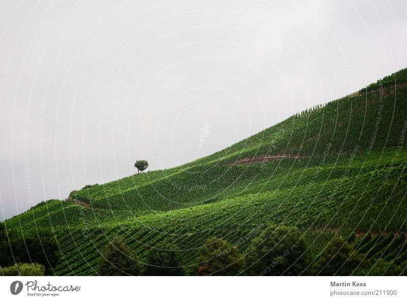 South slope Environment Landscape Summer Autumn Weather Bad weather Plant Hill Mountain Gray Green Vine Wine growing Vineyard Tree Individual Agriculture