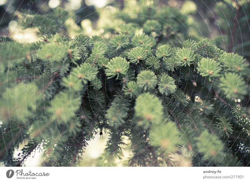 Nature Green Tree Summer Environment Wood Brown Perspective Branch Fir tree Ecological Environmental protection Forestry Forest Nature reserve Coniferous trees