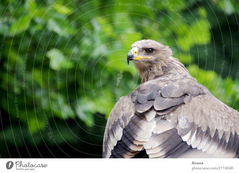 perspicacity Animal Wild animal Bird Wing Eagle Beak Hawk Bird of prey 1 Observe Hunting Looking Wait Esthetic Large Natural Brown Green Self-confident Power