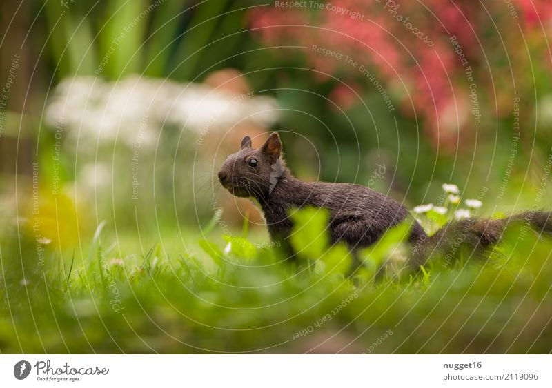 black squirrel Environment Nature Plant Animal Sunlight Spring Summer Autumn Flower Grass Bushes Garden Park Meadow Forest Wild animal Animal face Pelt Squirrel