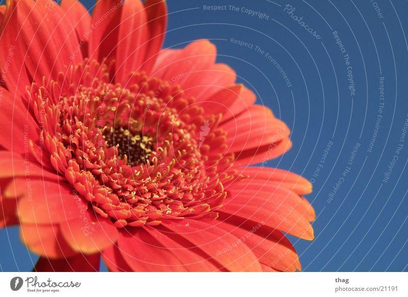 Sky Flower Plant Leaf Blossom Blossoming Gerbera