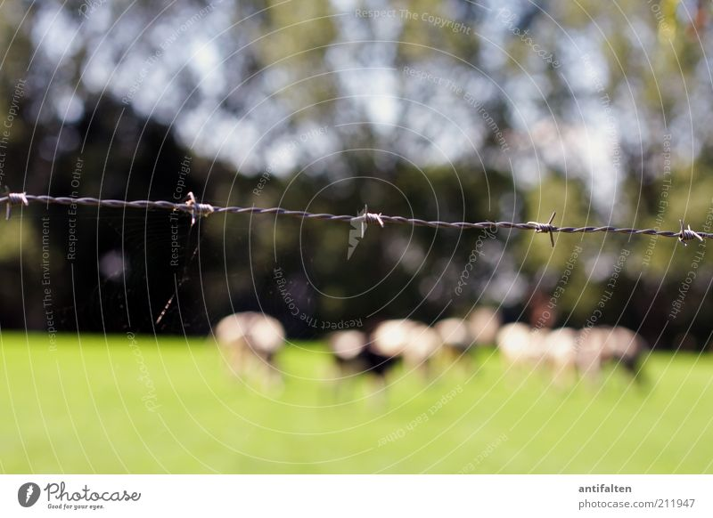 Life behind barbed wire Nature Landscape Animal Summer Beautiful weather Grass Meadow Field Village green Farm animal Cow Group of animals Herd Barbed wire