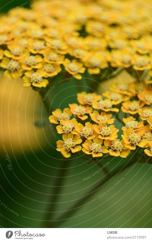 Yarrow *** Environment Nature Plant Flower Yellow Green Medicinal plant Herbs and spices Blossom Apiaceae Common Yarrow Blossoming Colour photo Exterior shot