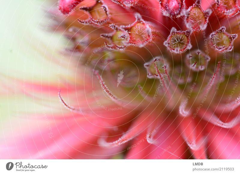 Indian Nettle Blossom Nature Plant Flower Red Balm Medicinal plant Labiate Purple Pink Fine Delicate Detail Background picture Star (Symbol) Colour photo