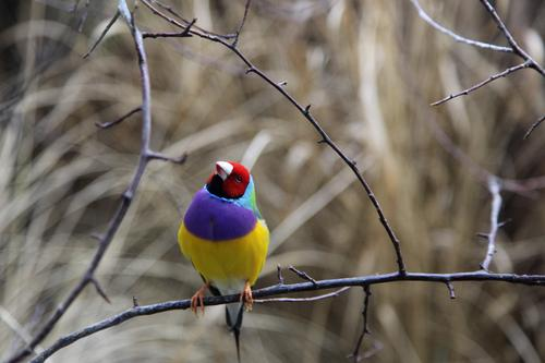 Quite a colourful drive Nature Animal Australia Pet Wild animal Bird Magnificent Finch Gould's Finch 1 Looking Sit Esthetic Exceptional Exotic Fresh Beautiful