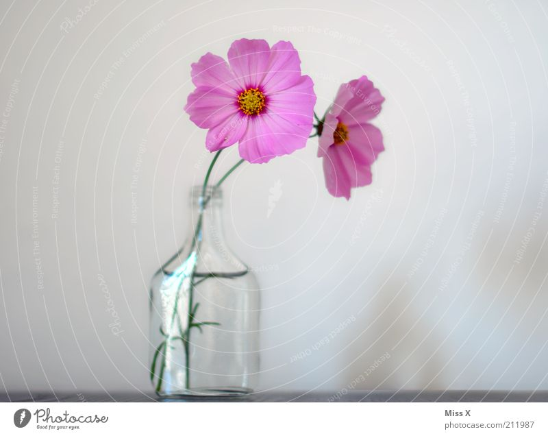 Flower Blossom Moody Pink Glass Pure Blossoming Fragrance Positive Vase Blossom leave Cosmos