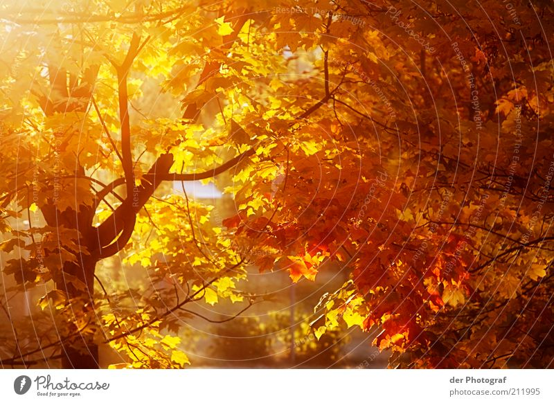 The fall Nature Plant Autumn Tree Chestnut tree Ease Seasons Warmth Colour photo Exterior shot Twilight Sunlight Sunbeam Autumnal Autumnal colours Automn wood