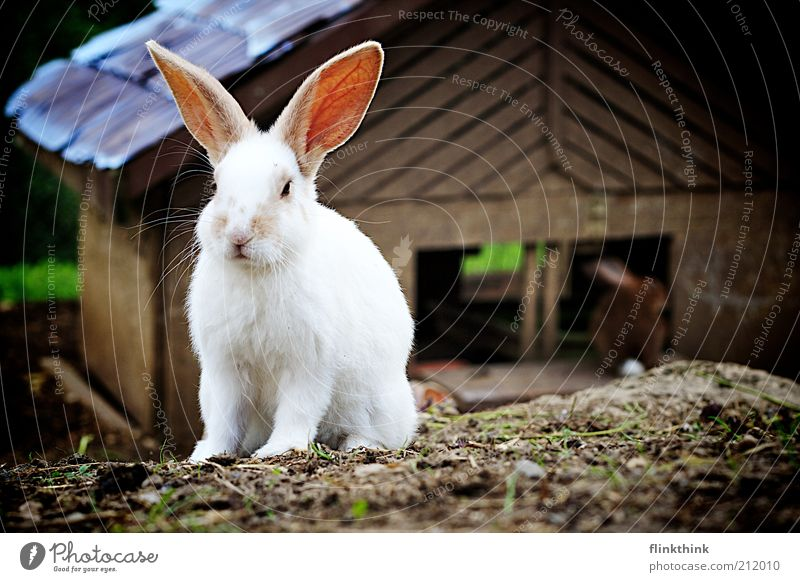 Nature White Animal Environment Sit Beautiful weather Curiosity Hare & Rabbit & Bunny Pet Easter Crouch Farm animal Easter Bunny Barn Enclosure Crouching