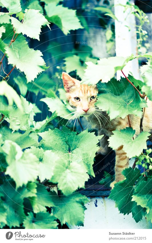 Plant Red Leaf Animal Window Cat Wait Climbing Observe Wild Wild animal Hunting Watchfulness Captured Crouch Tendril