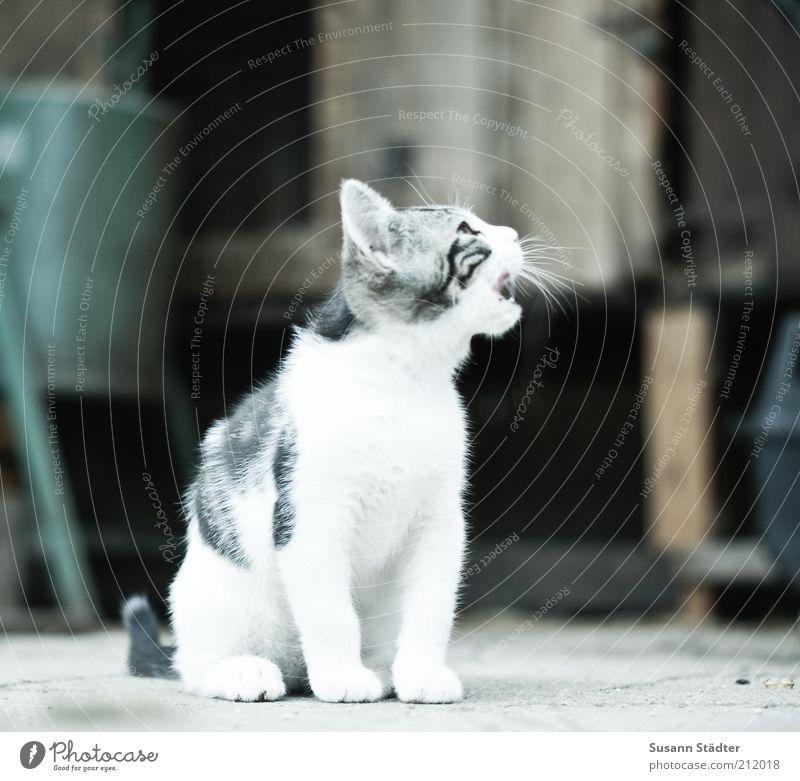 White Animal Cat Animal face Clean Scream Pelt Wild animal Appetite Pet Listening Kitten Baby animal Meow Require Beg