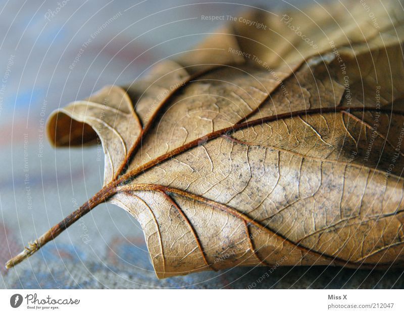 Nature Old Leaf Autumn Brown Transience Natural Decline Dry Botany Shriveled Section of image Dried Rachis Autumn leaves Close-up