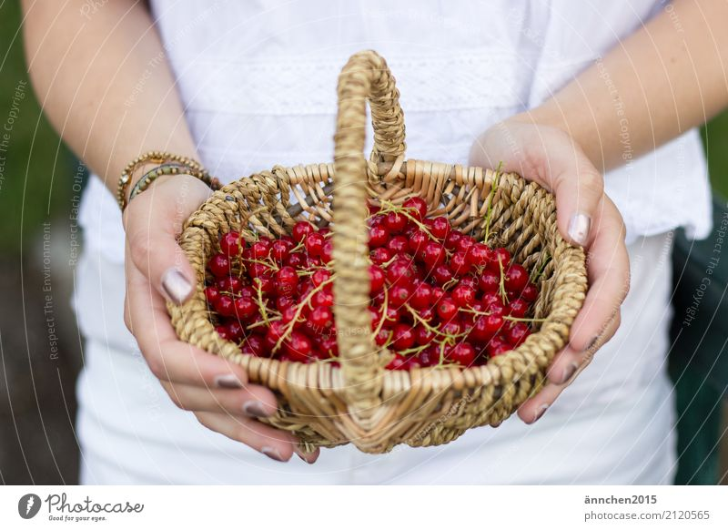 currant harvest Redcurrant reap Basket Plaited handle Hand Woman Fingers hands Nail polish White Brown Stalk fruit berry Jam do-it-yourself Summer Joy