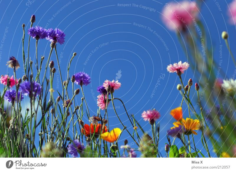 Nature Flower Plant Summer Calm Colour Meadow Blossom Grass Moody Growth Climate Idyll Blossoming Fragrance Positive