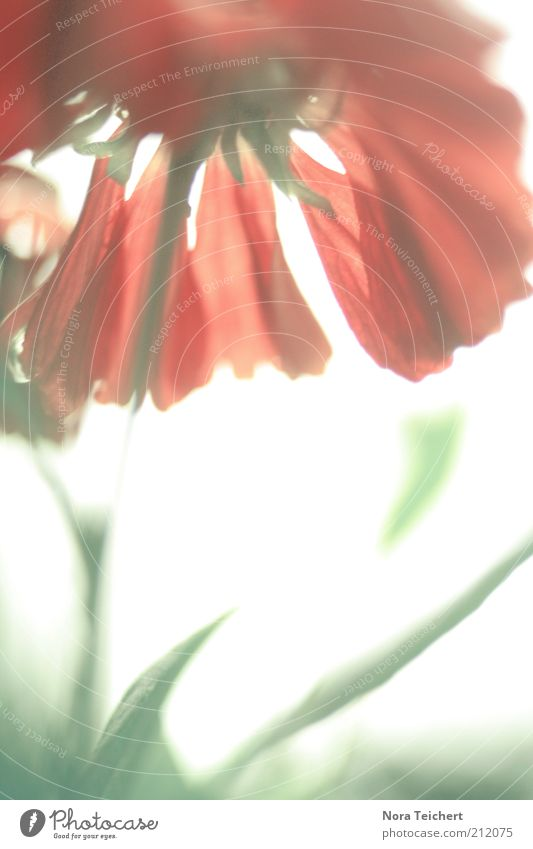 Nature Beautiful Sun Plant Red Summer Joy Emotions Blossom Spring Dream Environment Free Happiness Esthetic Climate