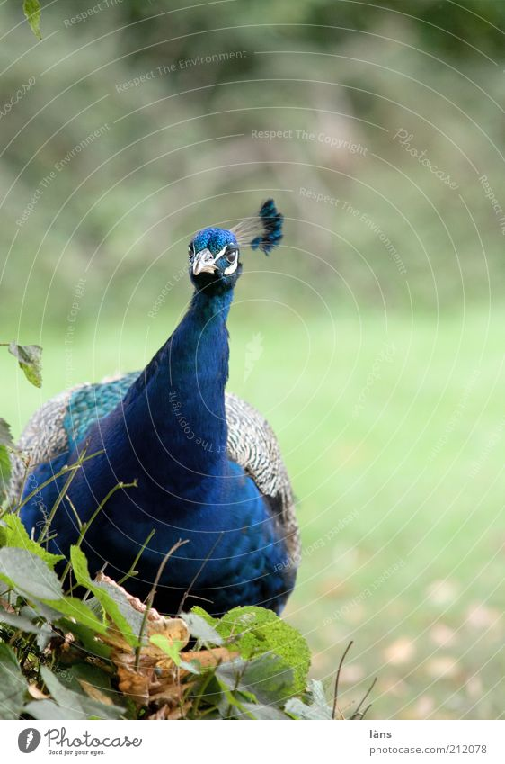 Nature Blue Animal Park Bird Feather Overweight Curiosity Fat Beak Peacock Lush Plumed