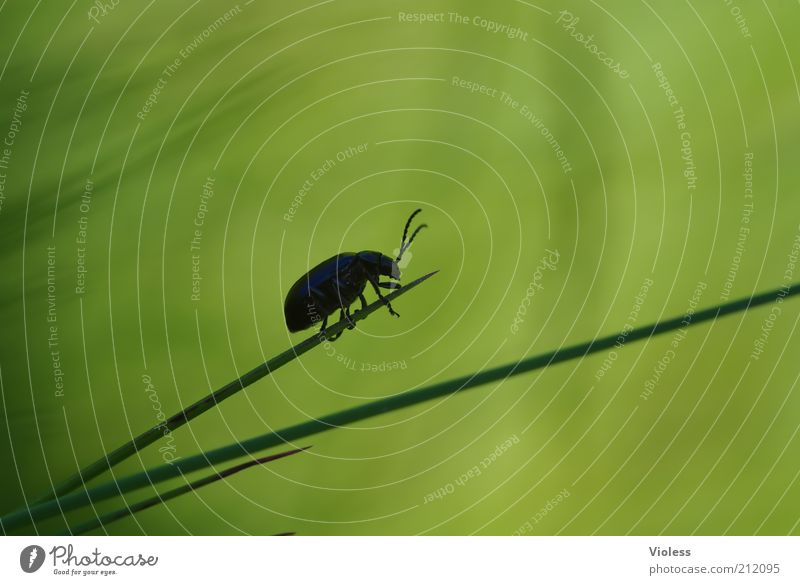 Nature Green Plant Animal Grass Small Delicate Blade of grass Beetle Feeler Crawl Macro (Extreme close-up)
