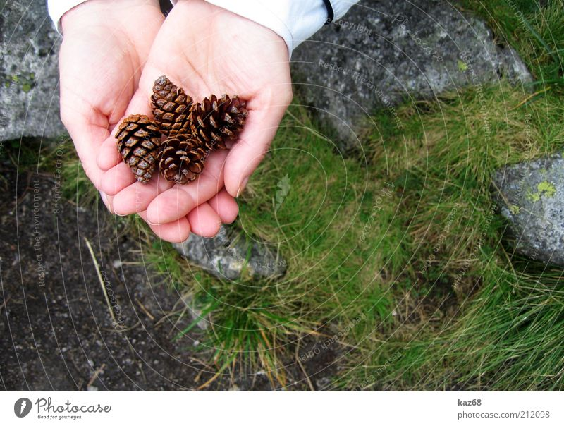 four all Skin Hand Environment Nature Plant Grass Moss Rock Stone Observe Fragrance Joy Diligent Search Find Collection Cone Tree 4 Fingers Presentation Seed