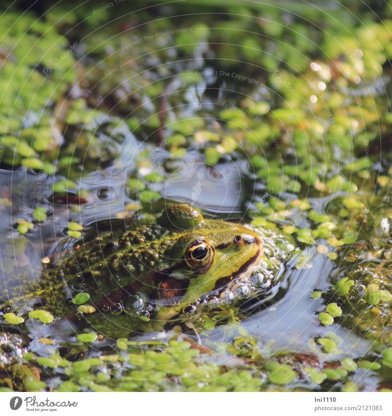 frog Environment Nature Plant Animal Water Spring Beautiful weather Wild plant Water lentil Garden Park Pond Wild animal Frog 1 Blue Brown Multicoloured Yellow