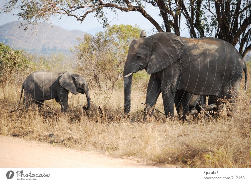 family trip Nature Landscape Beautiful weather Tree Bushes Animal Wild animal Elephant 2 Baby animal Animal family Movement Relaxation To feed Going Stand