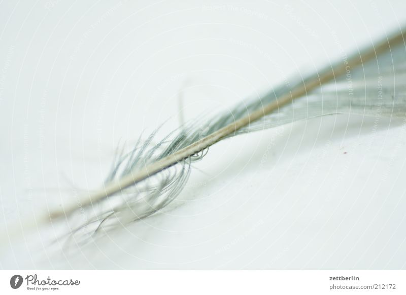 nib Bird August Feather Molt Feather shaft Smooth Colour photo Close-up Detail Macro (Extreme close-up) Deserted Copy Space top Copy Space bottom