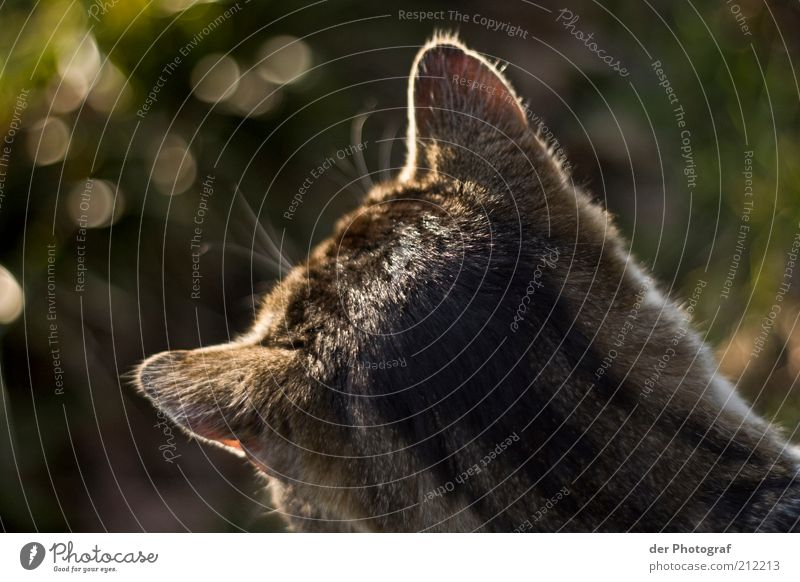 # And the ears are prickin' up # Animal Pet Cat Pelt 1 Listening Hunting Wait Curiosity Concentrate Colour photo Exterior shot Twilight Animal portrait