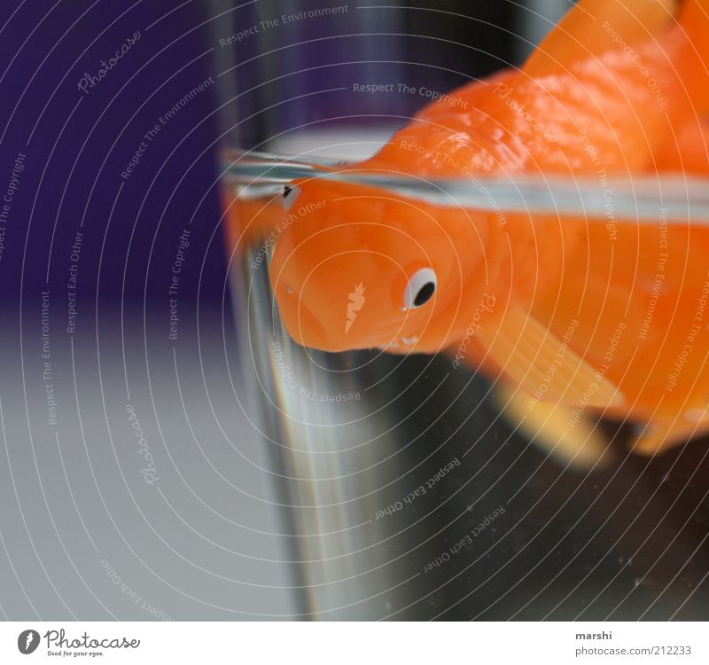 Mr Goldfish Rudi Animal Pet Fish 1 Violet Orange Small Glass Water Narrow Float in the water Aquarium Fin Colour photo Interior shot Deserted Swimming & Bathing