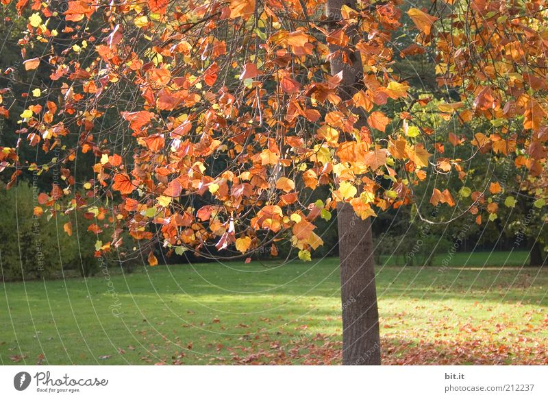 Nature Tree Plant Red Leaf Yellow Meadow Autumn Park Weather Gold Climate Branch Seasons Tree trunk Beautiful weather