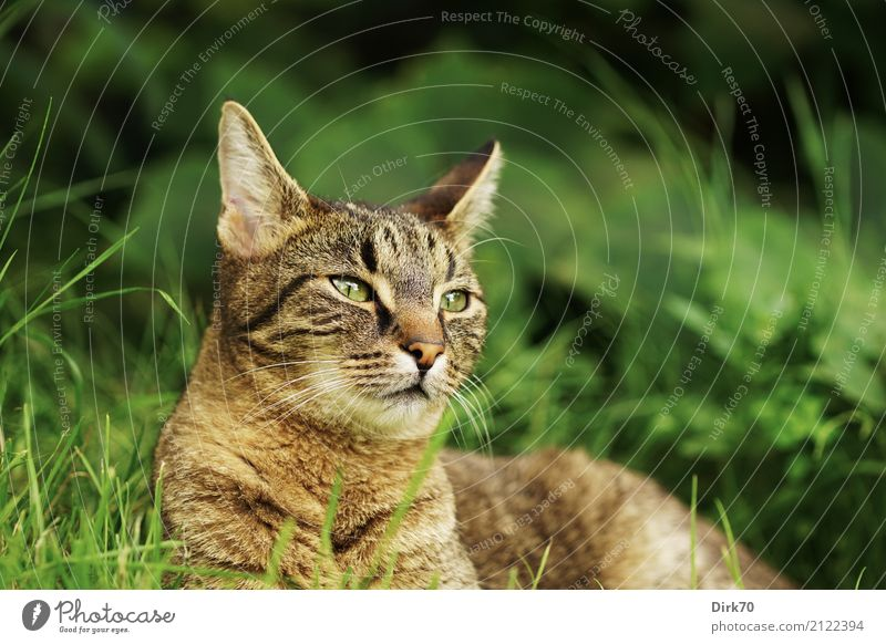 raptor look Garden Environment Summer Plant Grass Foliage plant Meadow Animal Pet Cat Tabby cat Domestic cat European Shorthair Animal portrait 1 Observe Lie