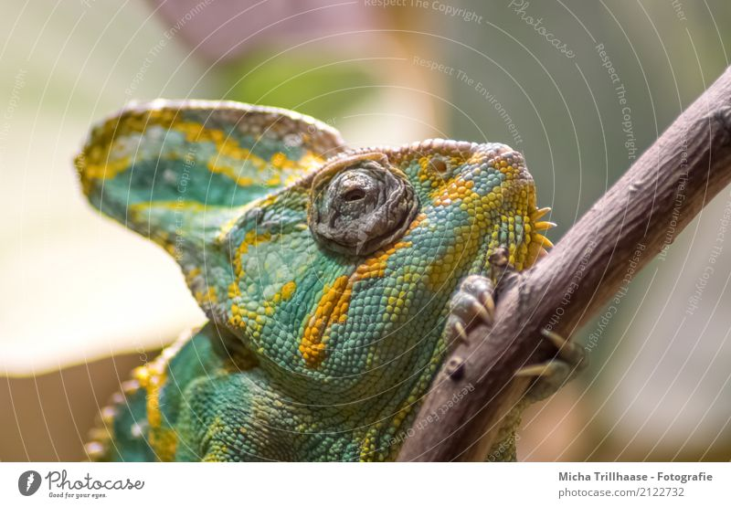 Chameleon on a branch Nature Animal Climate Plant Tree Pet Wild animal Animal face Claw Paw Saurians Reptiles Terrarium Eyes Wood Observe Relaxation Walking Lie