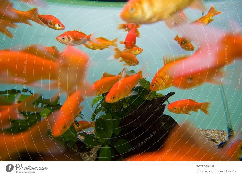 Water Plant Animal Orange Fish Group of animals Dive Zoo Cute Many Aquarium Pet Goldfish Flock Reef Ocean