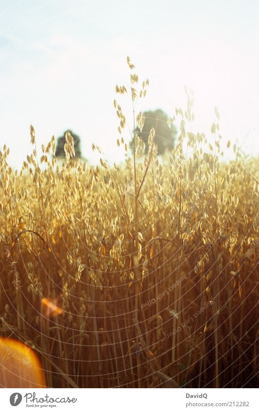 Nature Sky Plant Landscape Field Environment Natural Grain Lens flare Oats Agricultural crop