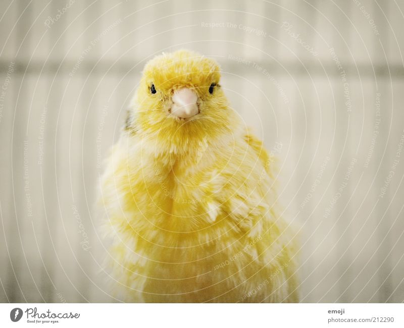 beeping bug Animal Pet Bird 1 Soft Yellow Canary bird Beak Cage Feather Colour photo Looking Looking into the camera Forward Animal portrait Bright Shadow