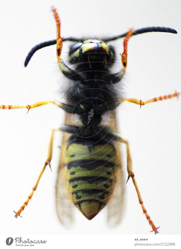 wasp Nature Summer Warmth Animal Wing Wasps Insect 1 Crawl Aggression Authentic Point Yellow Orange Black Grouchy Fear Pain Striped Waist Insect bite