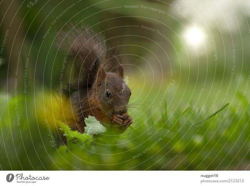 squirrels Environment Nature Animal Spring Summer Autumn Beautiful weather Grass Garden Park Meadow Forest Wild animal Animal face Pelt Claw Paw Squirrel 1