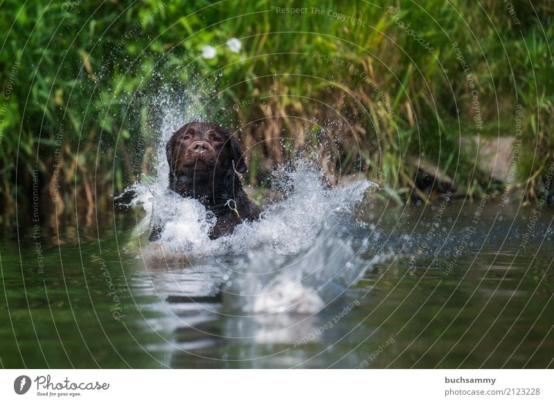 water features Playing Water Drops of water Beautiful weather Animal Pet Dog 1 Jump Wet Brown Green port Labrador retriever Action Flying Colour photo
