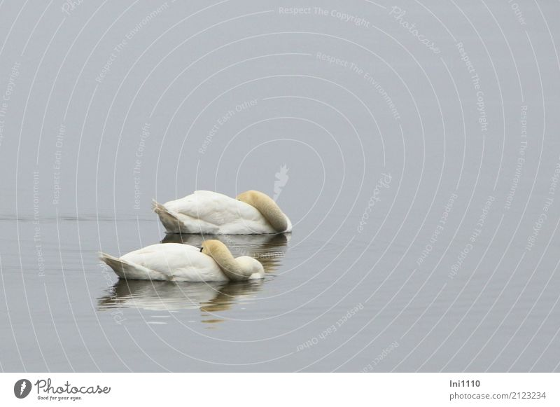 swans Environment Nature Animal Air Water Spring Weather Fog Lakeside Baltic Sea Wild animal Swan Wing 2 Agreed Together Love Loyalty Fatigue Siesta Calm