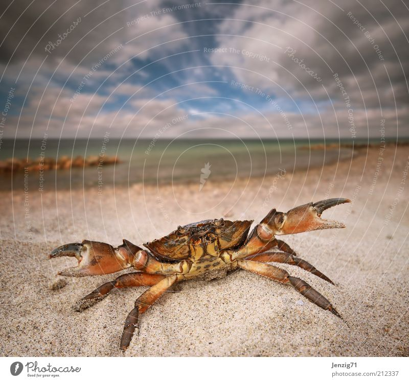 Beach robber. Nature Landscape Water Sky Clouds Summer Weather Waves Coast North Sea Animal Wild animal 1 Sand Shrimp Sandy beach Shellfish Claw Pinch