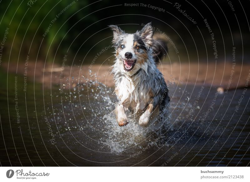 Australian Shepherd in water Nature Water Drops of water Animal Pet Dog 1 Adventure eyes blue merle Purebred Mammal Action Two-tone Running Colour photo